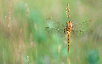 трава, макро, насекомое, лето, луг, стрекоза, золотистая, стебелёк