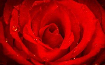 макро, цветок, капли, роза, лепестки, красная