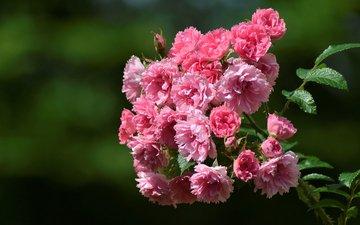 цветы, ветка, макро, фон, шиповник, цветки, шиповник морщинистый