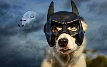 the sky, night, clouds, mask, the moon, dog, batman, bats