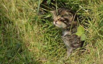 трава, кошка, котенок, лесная, дикая кошка, шотландская