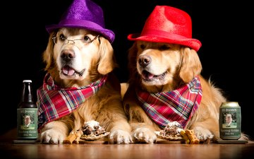очки, юмор, бутылка, пиво, двое, песики, шляпа, собаки, платок, ретривер, золотистый ретривер