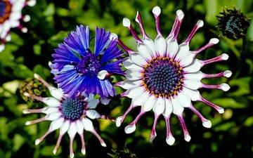 цветы, цветение, лепестки, остеоспермум