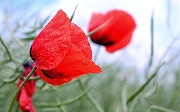 цветы, трава, красные, маки, полевые