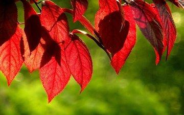 листья, зелёный, фон, осень, красные, листик