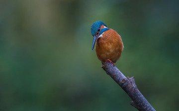 ветка, природа, птица, зимородок