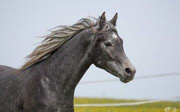 лошадь, серый, конь, грива, (с) oliverseitz