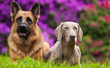 цветы, лето, пара, собаки, друганы