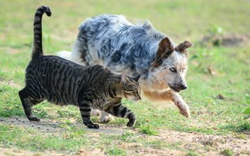 кот, поле, кошка, собака, пес, друганы, крадутся, заговорщики