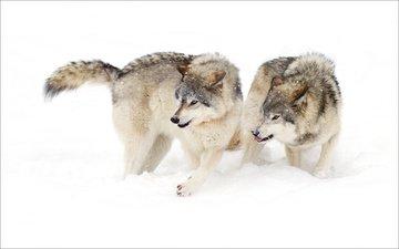 снег, зима, ситуация, белый фон, хищники, волки, агрессия