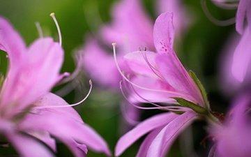 цветы, макро, лепестки, лилия, розовые, цветком