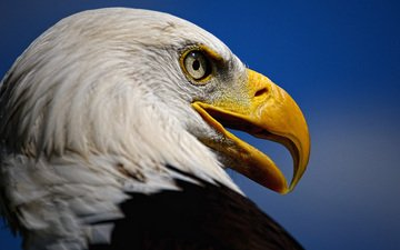 взгляд, орел, хищник, птица, клюв, белоголовый орлан