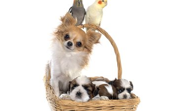 птицы, корзина, щенки, песики, попугай, собаки, попугаи, чихуахуа