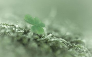 clover, macro, background