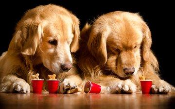 красные, двое, песики, собаки, ретривер, золотистый ретривер, косточки, стаканчики, собачье печенье
