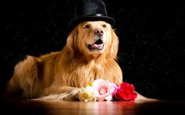 розы, взгляд, собака, черный фон, песики, шляпа, ретривер, золотистый ретривер, роз
