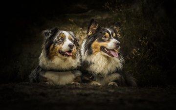 лес, пара, собаки, друганы
