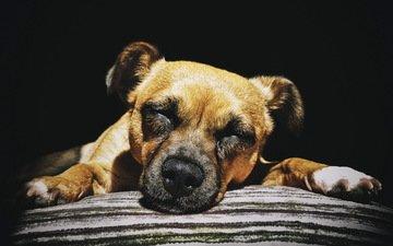 собака, дом, уют