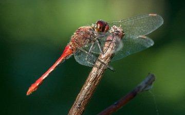 глаза, макро, насекомое, крылья, стрекоза