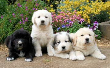 flowers, puppies, puppy, dogs, faces, retriever