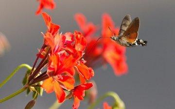 цветы, макро, насекомое, бабочка, крылья, хоботок, бражник