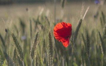 природа, макро, цветок, поле, красный, мак, колосья, пшеница, боке