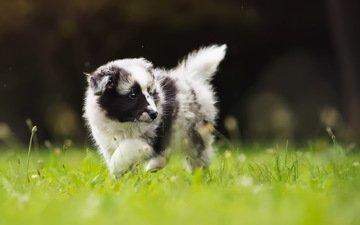grass, dog, puppy, walk, the border collie