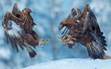 снег, природа, крылья, птицы, клюв, когти, беркут