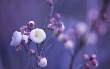 flowers, buds, macro, background, petals, blur, pink, white, lilac, twigs