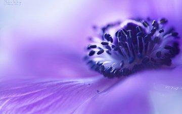 макро, цветок, размытость, сиреневый, анемона