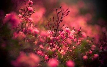цветы, розы, роза, куст, на природе, цветы, роз, цветком
