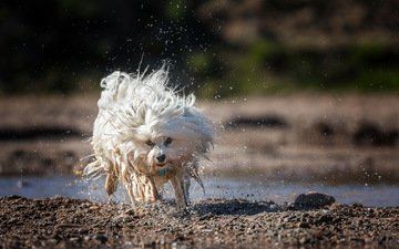 water, dog, squirt, running, the havanese, bichon, ralf bitzer