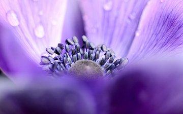 фокус камеры, макро, цветок, роса, лепестки, капельки, сиреневые, анемона