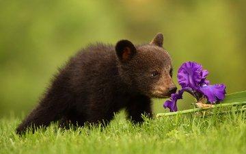 цветок, медведь, медвежонок, ирис, барибал, чёрный медведь
