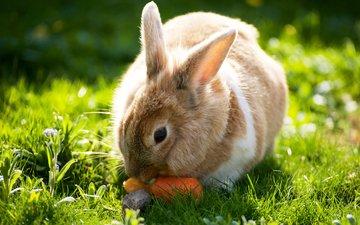 трава, солнце, лето, кролик, зайцы, вс, морковка, летнее