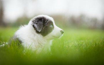 трава, зелень, собака, серый, размытость, луг, щенок, аусси
