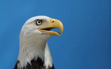 небо, взгляд, орел, профиль, птица, клюв, белоголовый орлан, голубое небо, птаха