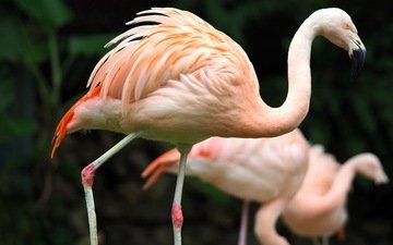 фламинго, птицы, зоопарк, гаосюн