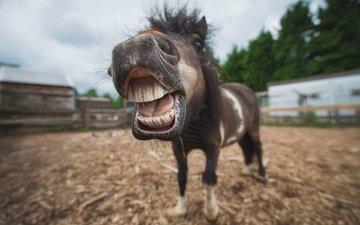 морда, лошадь, портрет, животное, пони, конь, ракурс, shetland