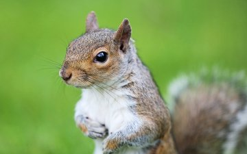 green, background, muzzle, look, animal, protein, tail, squirrel, rodent