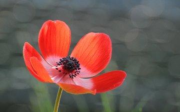 фон, цветок, лепестки, красный, серый, блики, анемона