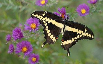 цветы, желтый, бабочка, фиолетовый, крылья, черный