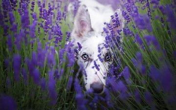 цветы, лаванда, взгляд, собака, бордер-колли, cirilla, alicja zmysłowska