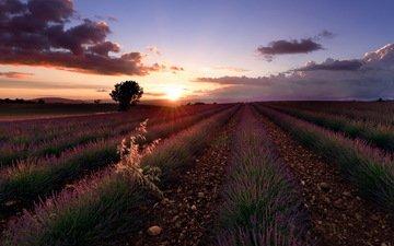 цветы, закат, поле, лаванда