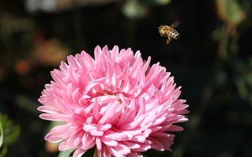 макро, насекомое, цветок, пчела, розовая, хризантема