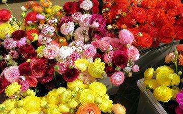 цветы, красные, розовые, желтые, оранжевые, ранункулюс, лютик