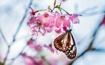 цветы, дерево, цветение, фокус камеры, макро, насекомое, лепестки, бабочка, размытость, весна, веточка, розовые, вишня, сакура