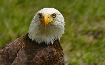 портрет, взгляд, орел, птица, клюв, белоголовый орлан
