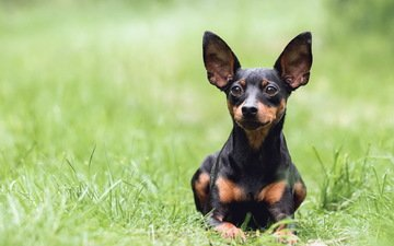 grass, look, dog, green, ears, dachshund, those ears, mira sinisalo