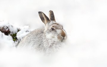 снег, природа, зима, фон, белый фон, шотландия, заяц, горный заяц, raymond leinster